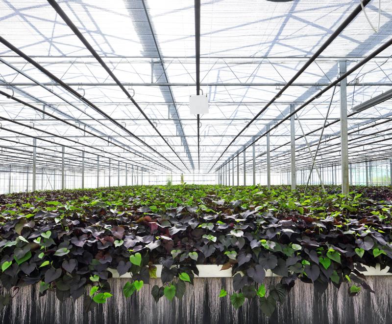 Serre de « plantes à traire »